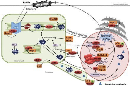 Chloroplasts at work during plant innate immunity | Emerging Research in Plant Cell Biology | Scoop.it