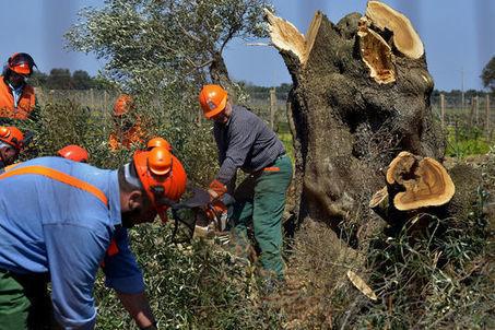 « Xylella fastidiosa », la bactérie tueuse d'oliviers, est arrivée en Corse   EntomoNews   Scoop.it