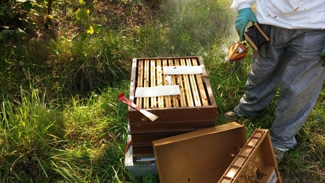 Début des expérimentations MAQS sur le rucher expérimental | Réseau des apiculteurs bretons | Scoop.it