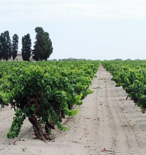 La plus grande collection de vignes au monde est en danger | pour mon jardin | Scoop.it