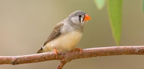 Les moustiques préfèrent les oiseaux stressés | Biodiversité | Scoop.it