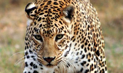 L'Afrique du Sud interdit la chasse au léopard pour 2016 | Biodiversité & Relations Homme - Nature - Environnement : Un Scoop.it du Muséum de Toulouse | Scoop.it