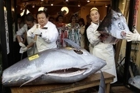 Bluefin Sells for Record $740,000: In New Year, Same Threats for Tuna in Japan | OUR OCEANS NEED US | Scoop.it