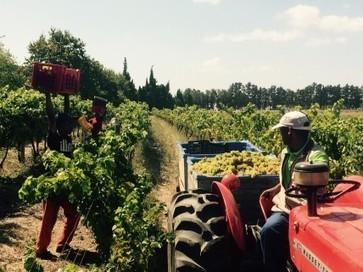 South African wine body calls 2015 vintage 'exceptional' | Autour du vin | Scoop.it