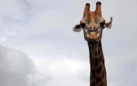 He's got some neck: Angry giraffe attacks safari tourists in South Africa - Telegraph | Kruger & African Wildlife | Scoop.it