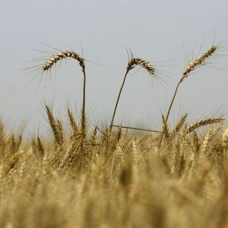 Australia-China research aims to make rice and wheat healthier | WHEAT | Scoop.it