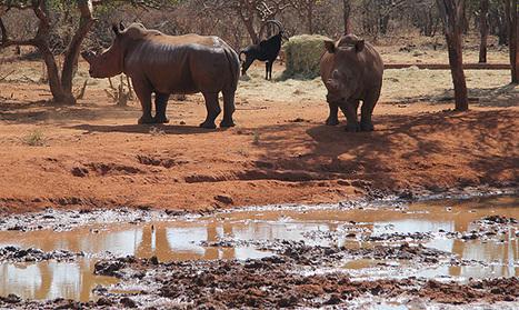 'Authorities failed to catch rhino poachers' | What's Happening to Africa's Rhino? | Scoop.it