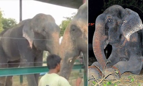 The heart-warming moment Raju the crying elephant finds a girlfriend | Nature Animals humankind | Scoop.it