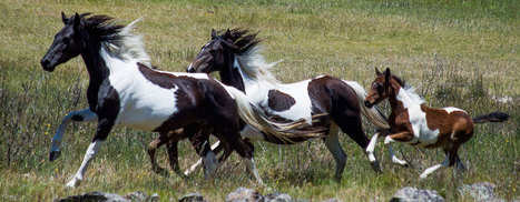 Our reply to NPWS on Draft Plan of Management regarding heritage wild horses in the alpine regions - Save The Brumbies | NSW National Parks | Scoop.it