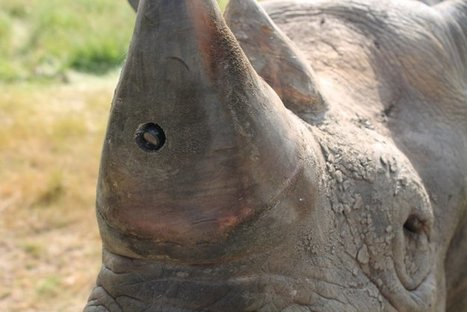 Anti-poaching device combines GPS, heart rate and video to stop rhino hunting within seconds | What's Happening to Africa's Rhino? | Scoop.it