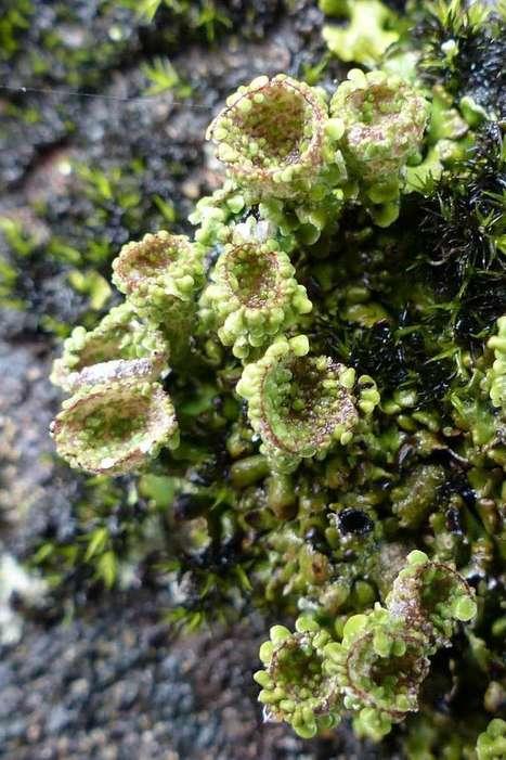 Photo de lichen : Cladonie à pyxide - Lichen pixydé - Cladonia pyxidata - Pebbled pixie-cup   Faaxaal Forum Photos gratuite Faune et Flore   Scoop.it