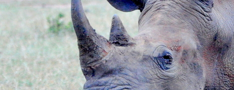 One Reason The Rhino Horn Trade Should Not Be Legalized | What's Happening to Africa's Rhino? | Scoop.it