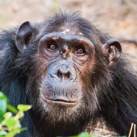 Female chimpanzees don't fight for 'queen bee' status | Gaia Diary | Scoop.it