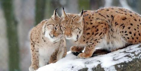 Le lynx, disparu des forêts, bientôt réintroduit en Lorraine | Economie Responsable et Consommation Collaborative | Scoop.it