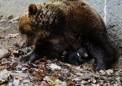 Pyrénées: plusieurs oursons sont nés cet hiver | développement durable - périnatalité - éducation - partages | Scoop.it