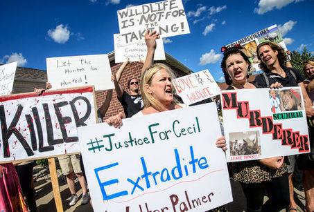 Le Zimbabwe demande l'extradition du chasseur américain qui a tué le lion Cecil - le Monde | Actualités écologie | Scoop.it