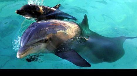 Los delfines tienen la memoria más larga del reino animal - Los Andes (Argentina) | De recuerdos y más que hay en la memoria | Scoop.it