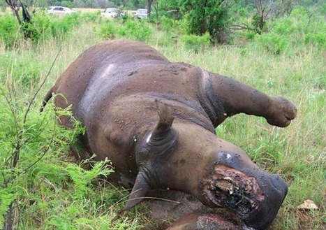 Seeing Is Important: Rhino Poaching | Tim Zimmermann | Save threatened and endangered species | Scoop.it