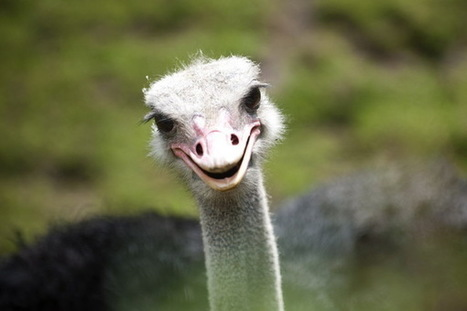 Ostrich could revolutionize the meat industry. But will Americans eat it? | Southmoore AP Human Geography | Scoop.it