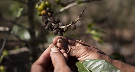 Agriculture: Beetles threaten Ugandan coffee crop | East & Horn Africa | Market information | Scoop.it