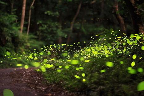 Одно из самых интересных ночных шоу в мире: светлячки   Amuze   Scoop.it