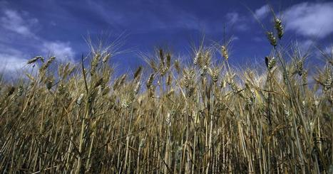 What about wheat, corn? Soft commodities fall hard - CNBC.com | Agriculture | Scoop.it