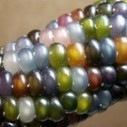 Glass Gem Corn | Community Support Agriculture | Scoop.it