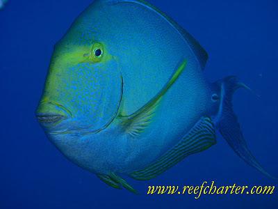 Surgeon Fish – Species of the Reef | Great Barrier Reef | Cairns, Australia | Scuba Diving Adventures | Scoop.it