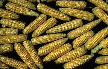 Facts About Corn | 9 SOSE Farm to Fridge Food Investigation | Scoop.it