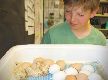 New and Improved Resources Available for Incubation and Embryology Program | School Gardening Resources | Scoop.it