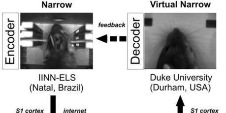 Deux rats séparés par un continent mais reliés par le cerveau | Interactive Arts | Scoop.it