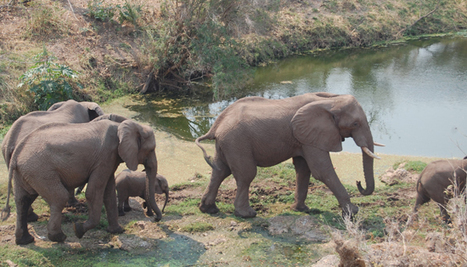 Nearly 100 elephants killed by poachers | Rhino Poaching & Wildlife Crime | Scoop.it