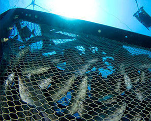Hydroacoustic tools help estimate farmed fish biomass - FIS   Aquaculture Products & Marketing Network   Scoop.it