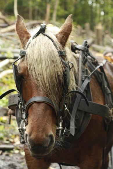 Funding arrives for heavy horses to help conserve ancient West Wickham ... - News Shopper | Trees and Woodlands | Scoop.it