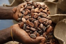 Consumers from California to Switzerland are developing a taste for dark chocolate, taking a bite out of global cocoa supplies and driving up candy prices. | Erba Volant - Applied Plant Science | Scoop.it