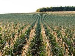 US: Corn harvest quality report show good quality for record crop   MAIZE   Scoop.it