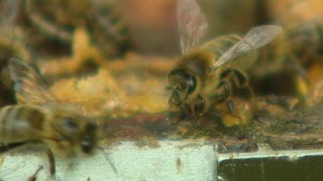 Pourquoi faut-il protéger les abeilles noires?  -  - Télésambre | abeille noire | Scoop.it