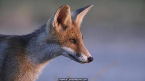 A Soviet scientist created the only tame foxes in the world | Gaia Diary | Scoop.it
