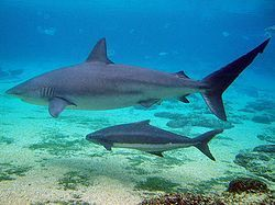 Government to Impose New Limits on Shark Fishing | Blue Planet | Scoop.it