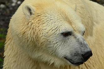 L'ours polaire à l'origine d'un nouvel isolant ? | Innovation | Scoop.it