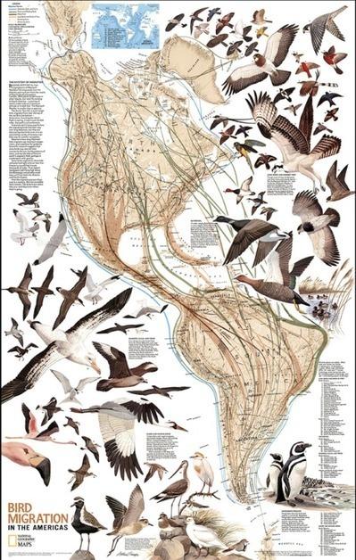 Mesmerizing Maps of Bird Migration | web maps | Scoop.it