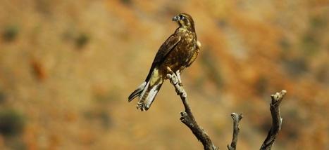 Certains oiseaux australiens seraient pyromanes   Biodiversité   Scoop.it