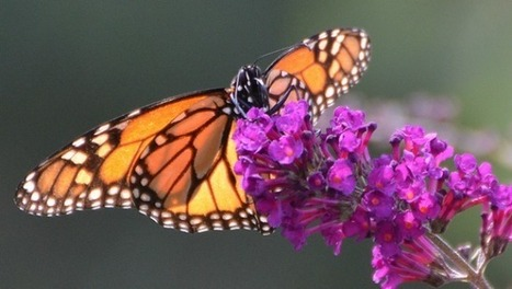 Working together to save the monarch butterfly | Gardening is more than Digging the Dirt | Scoop.it