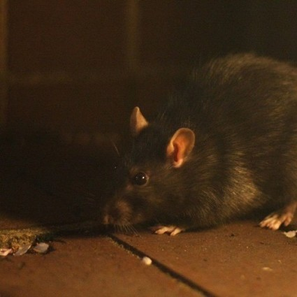 Detection of Pathogens and Novel Viruses Carried by New York City Rats | Amazing Science | Scoop.it