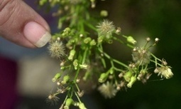 Global warming could spread US ragweed to UK, causing misery for hayfever sufferers | GarryRogers NatCon News | Scoop.it