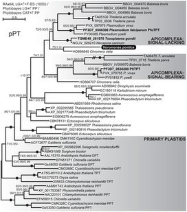 Transcriptomic Analysis Reveals Evidence for a Cryptic Plastid in the Colpodellid Voromonas pontica, a Close Relative of Chromerids and Apicomplexan Parasites | Plant Genomics | Scoop.it