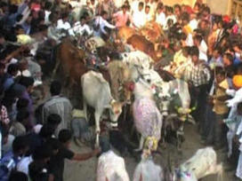 Video: Indian men trampled by cows in traditional ritual | Horn APHuG | Scoop.it
