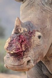 DSWF Calls on CITES Members to Grant Better Protection to Rhinos : David Shepherd Wildlife Foundation | Save our Rhino and all animals...this is what it looks like!!!!! | Scoop.it
