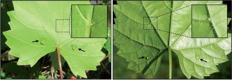 Foliar nectar can enhance plant-mite mutualisms - AoBBlog | Erba Volant - Applied Plant Science | Scoop.it