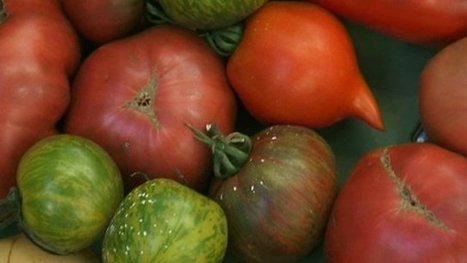 Des tomates oui, mais des tomates anciennes - France 3 Languedoc-Roussillon | Le Fil @gricole | Scoop.it